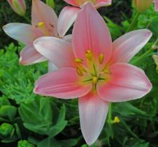 lily copy