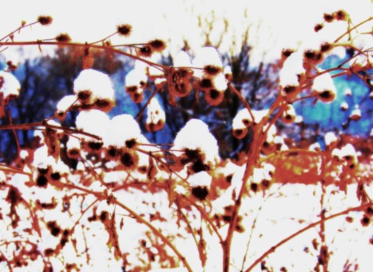 Winter Burrrdock...