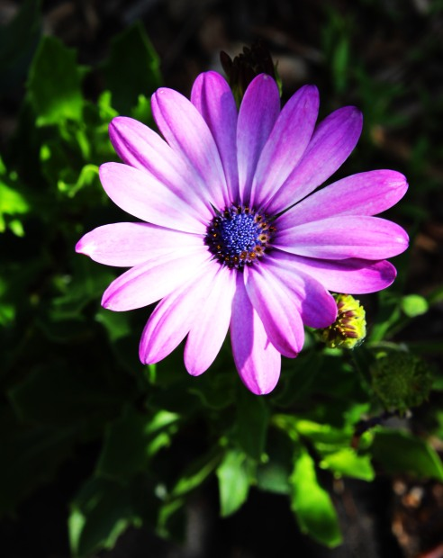 Falconer flower