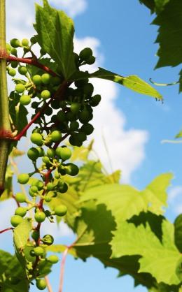 vine and sky