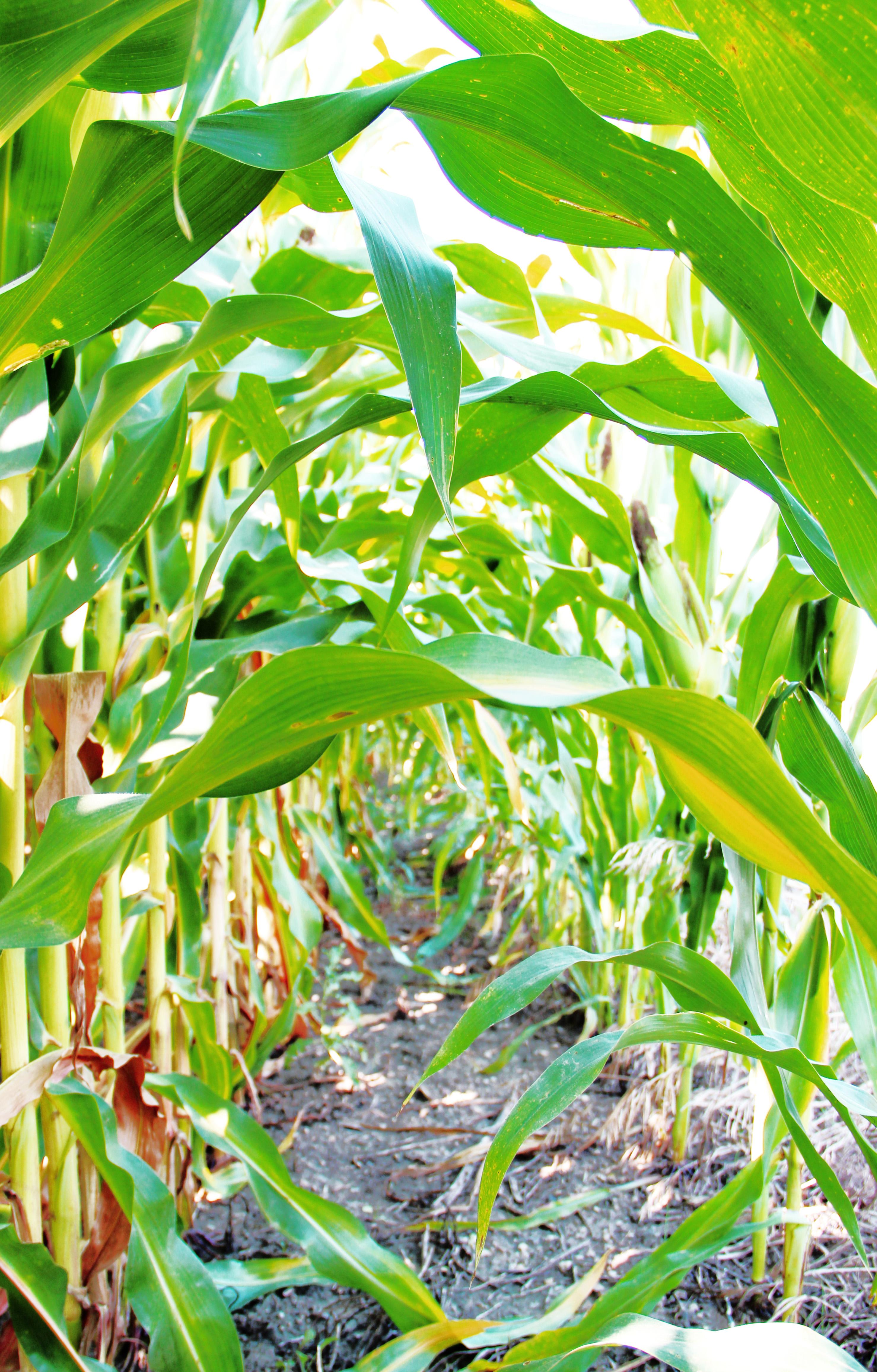 corn rows amongst them