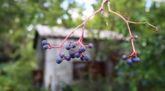 berries and house