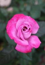 fall-rose