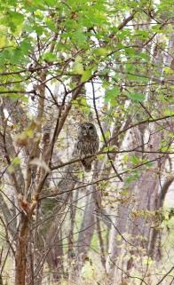 kathleens-owl-original