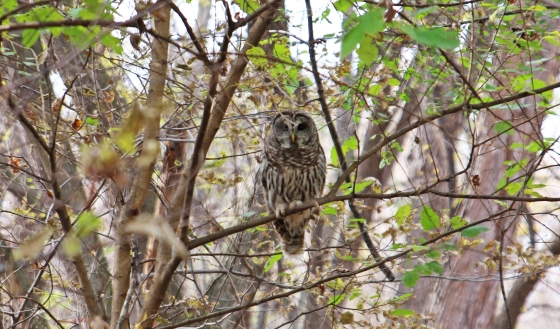 kathleens-owl