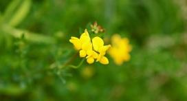 Crosby Meadow Flower2