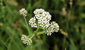 Crosby Meadow Flower3
