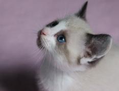 siamese pink nose